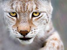 Lynx Gato Retrato toma vida silvestre Foto impresión arte cartel Imagen bmp331a