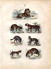 1861 MARTIN HC WOOD ENGRAV. wildcat, lion, leopard, tiger, jaguar, cheetah, lynx