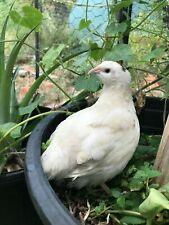(12) 1 Dozen! Jumbo (Jmf) Recessive White Coturnix Quail Eggs