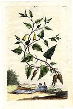 Antique Print-PL 176-OPERCULINA ALATA-BATATA-PURGATIVE POTATO-Munting-1696