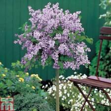 Lilac Tree Hardy Garden Shrub Plant Large Standard 2 Litre Nursery Pot Plant T&M