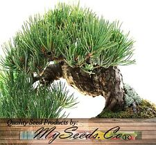 (20) Rocky Mountain Bristlecone Pine Tree Seed - Pinus aristata Bonsai Comb. S&H