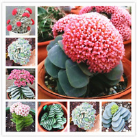 Exotic Plants 100 Pcs Seeds Cactus Plantas Beautiful Sementes Raro Cacti Bonsai