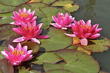 Red water lilies /water features/ponds Plants/5 finest viable seeds