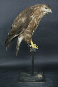 Taxidermy-hunting-chasse-präparat- Long-legg. Buz. dated 1940(no shipping to UK)