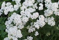 Yarrow Seeds, Heirloom Herb Seeds, Medicinal Herb, Perennial Wildflowers, 100ct