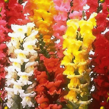 2000 Tetra Mixed Snapdragon Wildflower Seeds - Everwilde Farms Mylar Seed Packet