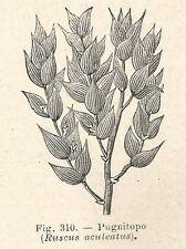 B1215 Ruscus aculeatus - Incisione antica del 1929 - Engraving