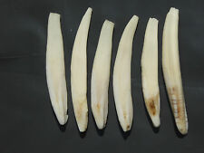 Packet of 6 Pieces of Boar Teeth  For Jewelry , Arts, Craft (aprox.6-7cm.)