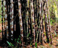 klasse Bambus für die Wohnung - KALKUTTA-BAMBUS - hat nicht jeder !