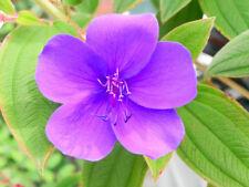 für Garten und Terrasse: der Veilchenbaum, mit phantastischen lila Blüten.
