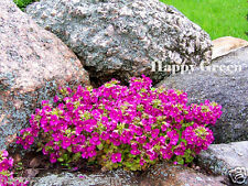 ROCK CRESS PINK - 1000 SEEDS - Arabis Caucasica Alpinum  - PERENNIAL FLOWER
