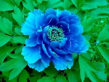 5 BLUE TREE PEONY SEEDS - (Paeonia suffruticosa)