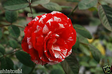"""Live  Rose plant  """"josh """"  6 inch Grafted Plant , S-1098"""