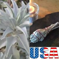 (GROW YOUR OWN) White Sage 100, 200, 500, 750 Seeds