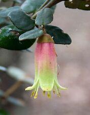 Correa reflexa prostrate form in 75mm supergro tube native plant