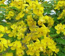 8 Seeds Senna Alexandrina Tropical Ornamental Cassia angustifolia Sunny Yellow