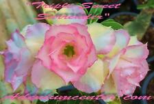 "ADENIUM OBESUM DESERT ROSE TRIPLE FLOWER "" TRIPLE SWEET SURRENDER "" 20 seeds NEW"