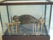 Grey Partridge, male, in a glass case with a stubble type scenery. excellent.