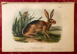 Audubon Quadrupeds of America Hand Colored Print: Californian Hare