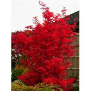 Acer palmatum Skeeters Broom - Japanese Maple - supplied in approx 3L container