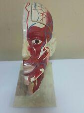 Vintage Human Head Model Kit Anatomic Table Top Education School Lab Desktop