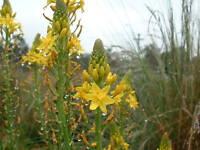 Bulbine bulbosa - Golden Bulbine Lily 10 seeds
