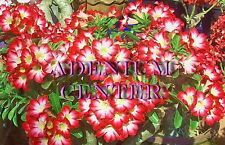 "Adenium Obesum Desert Rose "" BUNCHY FOUNTAIN "" 20 seeds FRESH  FREE SHIPPING"