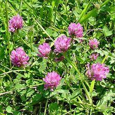 Red Clover- (Trifolium Pratense) - 250 Seeds