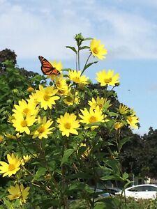 'LEMON QUEEN' (helianthus) false sunflower Perennial seeds *Butterflies