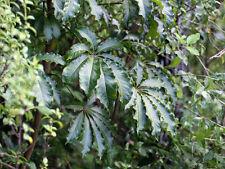 8 Semillas  SCHEFFLERA DIGITATA  Chefflera  Árbol de Nueva Zelanda - Plantas