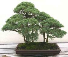 Juniperus Bonsai Trees