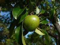 Pond Apple   Annona glabra   Bonsai   Organic   10  Fresh Seeds  (Free Shipping)