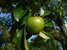 Pond Apple   Annona glabra   Bonsai   15  Fresh Seeds (Free Shipping)