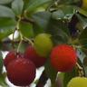 MADROÑO frutos deliciosos ARBUTUS UNEDO 65 Semillas