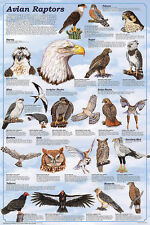 Avian Raptors Educational Science Teacher Classroom Chart Print Poster 24x36