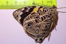 LPB06 A/A+  Butterflies & moths Papilio
