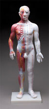 "Male Acupuncture and Muscle Human Body Model, 24"" tall, NEW"