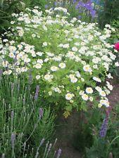 Mutterkraut Blumensamen ca.100 Samen Natur-Biogarten