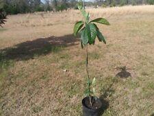 Loquat Tree Japanese Plum Xxl Fruit 4-5 Ft Hardy 10 Deg Fl Top Quality