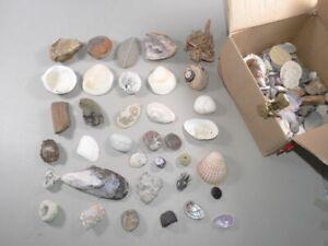 Große Sammlung Mineralien und Muscheln - Schnecken Gestein Korallen Perlmutt
