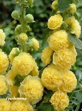 100 Graines Rose trémière Althaea rosea (hollyhock) Double Yellow flower seeds