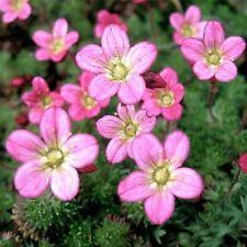 Saxifraga- Rose Robe - 100 Seeds -