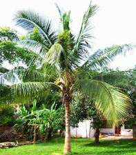 10 Pcs Coconut tree Seeds Giant Miracle Fruit Tree High Nutrition Juicy Fruits P