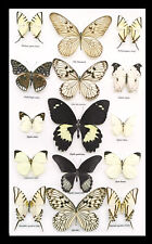 Butterfly display for sale real black white butterfly collection australia BRBWP