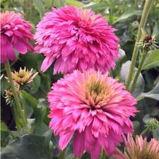 Sonnenhut Echinacea Raspberry Truffle Qualitäts-Stauden Kombiversand TOP Bewertu