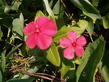 Vinca Flower Plants, 22 Bare Roots, mixed colors They'Re Larger Now before Freez