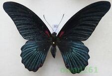 Papilio lowi (Druce, 1873) male ex. pupa Philippines, Marindugue 103mm80