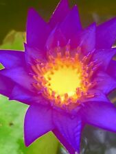 Tropical water lily, whole live baby plant shipping $14 extra