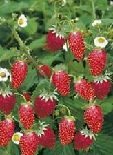 FRAGARIA Ali Baba  strawberry Alpine 100 seeds fruit